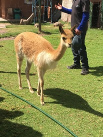 Vicuña- Peruvian National Animal